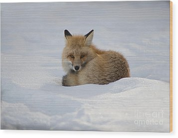 Yellowstone Fox # 2 Wood Print
