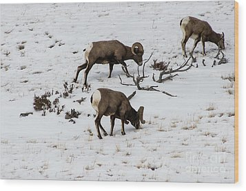 Yellowstone Sheep Wood Print