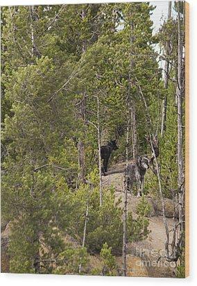 Yellowstone Wolves Wood Print by Belinda Greb