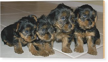 Yorkie Puppies-we're Sorry Wood Print