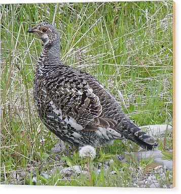803a Franklin's Grouse - Female Wood Print by NightVisions