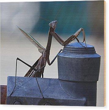 You Looking At Me - Pray Mantis Wood Print