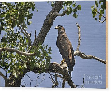 Young Bald Eagle Wood Print by Nava Thompson