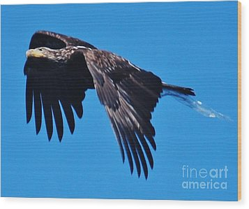Young Bald Eagle Wood Print by William Wyckoff