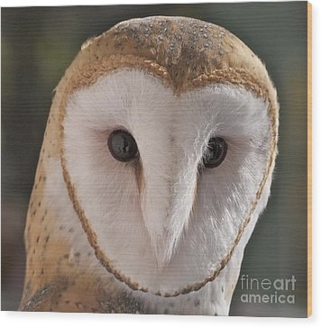 Young Barn Owl Wood Print by K L Kingston