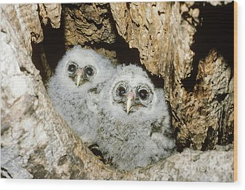 Young Barred Owls In Nest Snag Wood Print by Jim Zipp