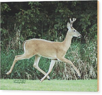 Young Buck Wood Print by Lorna Rogers Photography