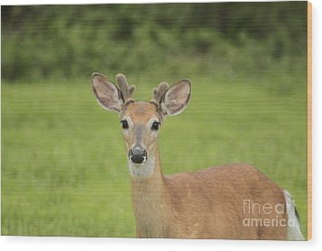 Young Buck With Velvety Antlers Wood Print by Jim Lepard