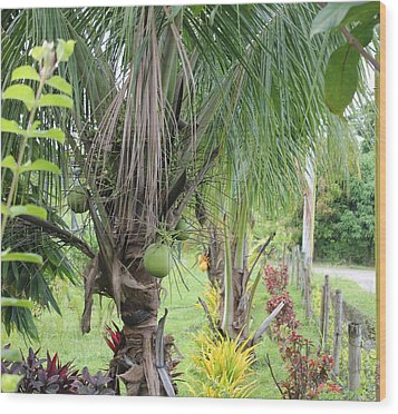 Wood Print featuring the photograph Young Coconut Tree by Cyril Maza