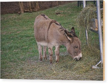 Young Donkey Eating Wood Print