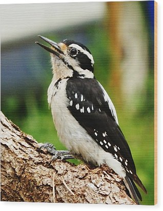Wood Print featuring the photograph Young Hairy Woodpecker by VLee Watson