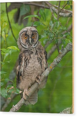 Young Long-eared Owl Wood Print by Janne Mankinen