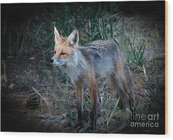 Young Red Fox Wood Print by Robert Bales