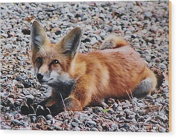 Wood Print featuring the photograph Young Red Fox Watches Squirrel by Diane Alexander