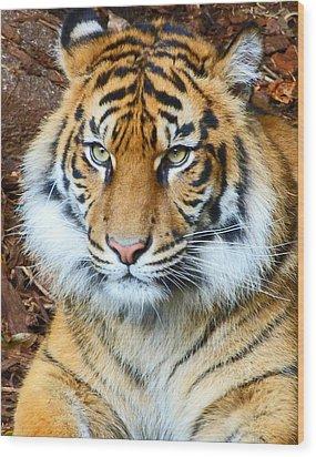 Young Sumatran Tiger Wood Print by Margaret Saheed