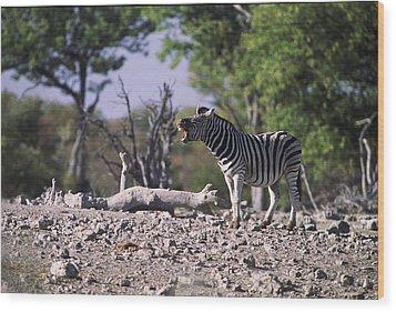 Zebra Braying Wood Print by Stefan Carpenter