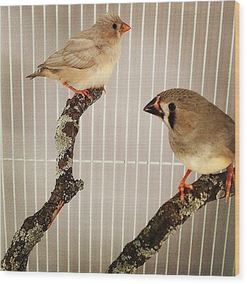 Zebra Finches Wood Print