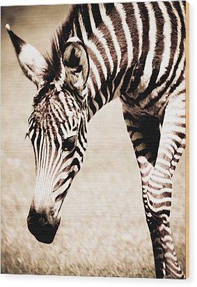 Zebra Foal Sepia Tones Wood Print