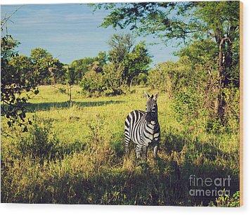 Zebra In Grass On African Savanna. Wood Print by Michal Bednarek