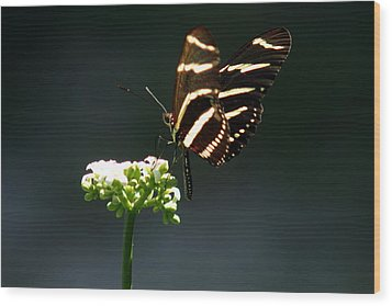 Zebra Longwing Wood Print by Greg Allore