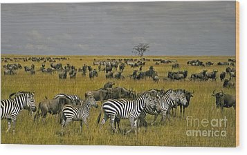 Zebras And Wildebeast   #0861 Wood Print