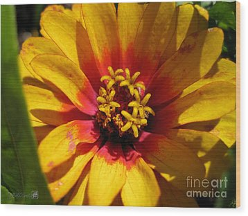 Zinnia Named Swizzle Scarlet And Yellow Wood Print by J McCombie