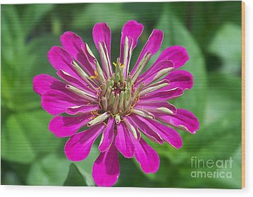 Wood Print featuring the photograph Zinnia Opening by Eunice Miller