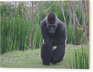 Zootography Of Male Silverback Western Lowland Gorilla On The Prowl Wood Print by Jeff at JSJ Photography