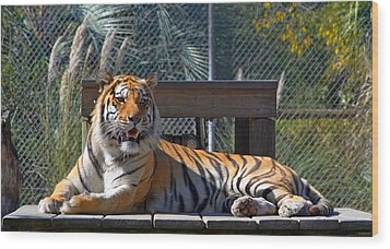 Zootography3 Tiger In The Sun Wood Print by Jeff at JSJ Photography