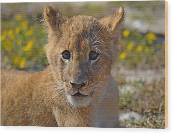 Zootography3 Zion The Lion Cub Wood Print by Jeff at JSJ Photography