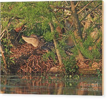 Wood Print featuring the photograph  Alligator On Nest by Luana K Perez