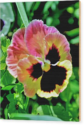 Wood Print featuring the photograph  Pink And Yellow Pansy by Helen Haw