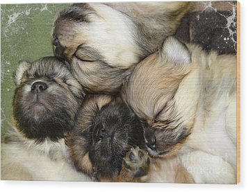 The Gang   Cute Puppies Wood Print by Peggy Franz