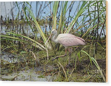 Young Roseate Spoonbill Wood Print by Kathy Gibbons