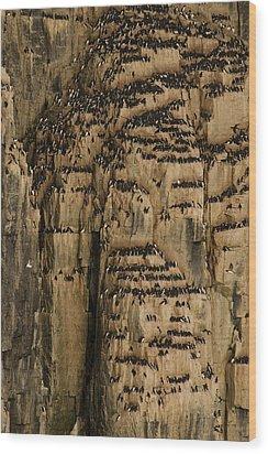 A Colony Of Little Auks Line Jagged Wood Print by Norbert Rosing