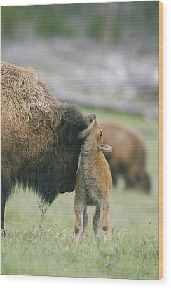 A Female Bison Bison Bison Stands Wood Print by Tom Murphy