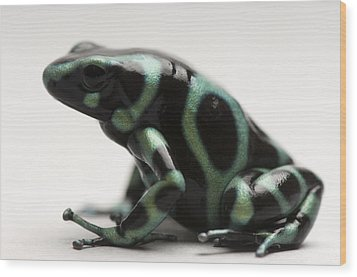 A Green-and-black Poison Dart Frog Wood Print by Joel Sartore