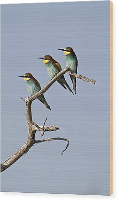 A Group Of Bee-eaters Resting On Branch Wood Print by Roy Toft