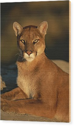 A Portrait Of A Mountain Lion Wood Print by Norbert Rosing