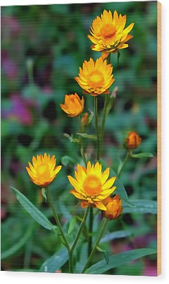 Wood Print featuring the photograph A Simple Daisy by Paul Svensen