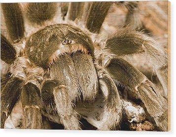 A Tarantula Living In Mangrove Forest Wood Print by Tim Laman