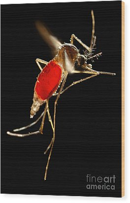 Aedes Aegypti Mosquito Wood Print by Science Source
