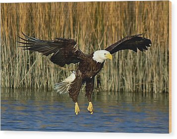 American Bald Eagle Wood Print by Paulette Thomas