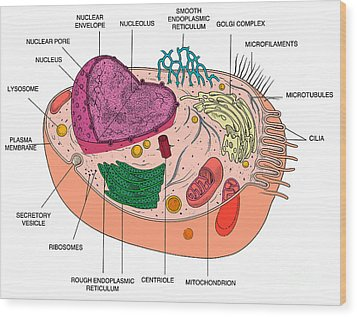 Animal Cell Diagram Wood Print by Science Source