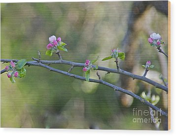 Apple Blossoms Wood Print by Sean Griffin