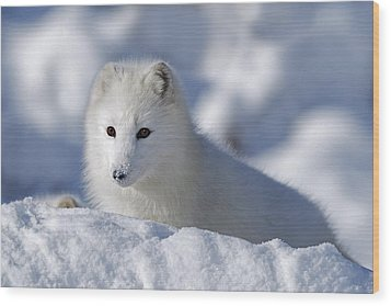 Arctic Fox Exploring Fresh Snow Alaska Wood Print by David Ponton