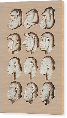 Artwork Of Twelve Catarrhines, 1870 Wood Print by Mehau Kulyk