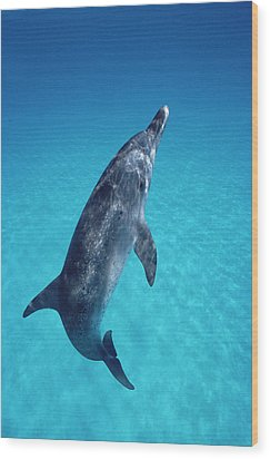 Atlantic Spotted Dolphin Portrait Wood Print by Flip Nicklin