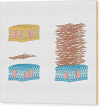 Bacterial Cell Wall Comparison, Artwork Wood Print by Peter Gardiner