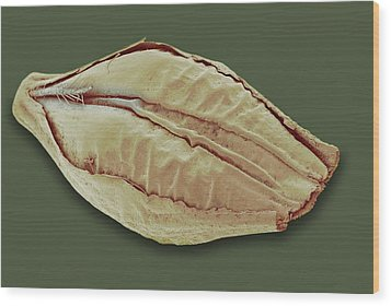 Barley Grain, Sem Wood Print by David Mccarthy